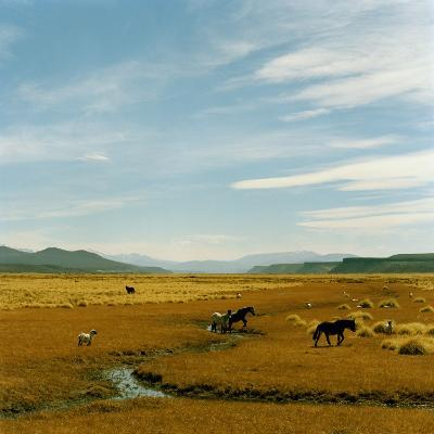 Horses Roaming in a Field, Andes