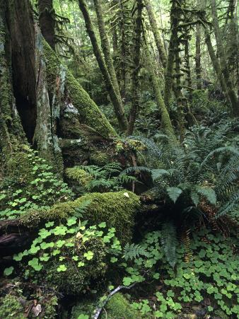 Temperate Rainforest with Ferns and Moss-Covered Tree Trunks