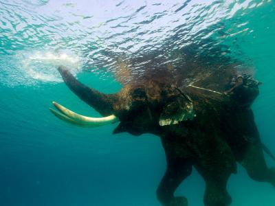 Male Indian Elephant (Elephas Maximus Indicus) Swimming Underwater