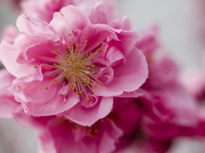 Detail of Cherry Blossom in Koraku-En Park