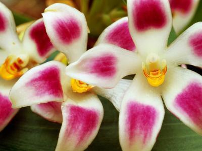 Cloud Forest Orchids (Maxillaria Ampliflora), Highlands