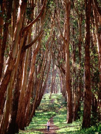Woman Walking Through Eucalyptus Trees, the Presidio
