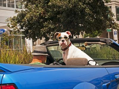 Dog Wearing Goggles, Passenger of Convertible Car on Vanness Avenue