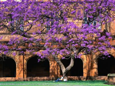 A Large Jacaranda Tree in the Corner of the Main Building Quadrangle at Sydney University
