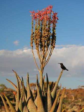 Blooming Aloe Littoralis