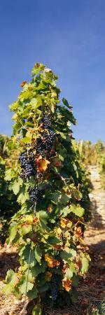 Grape Vines in a Vineyard, Germany