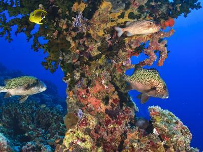 Harlequin Sweetlips, Butterflyfish and Glasseye, Palau, Micronesia