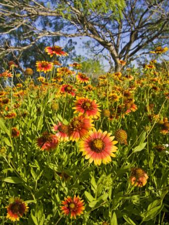 Firewheels Growing in Mesquite Trees, Texas, USA,