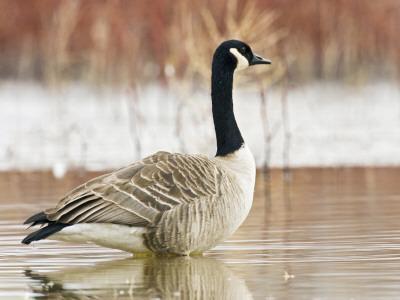 Canada Goose Standing in a Still Marsh