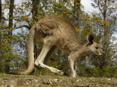 Eastern Grey Kangaroo at Queensland, Australia