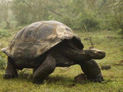 Galapagos Giant Tortoise With Tui De Roy Near Alcedo Volcano, Isabela Island, Galapagos Islands