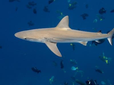Galapagos Shark Off of Wolf Island, Galapagos Islands, Ecuador