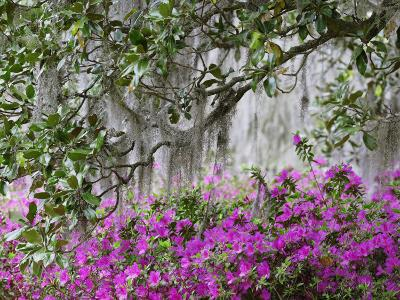 Azaleas and Live Oak Trees Draped in Spanish Moss, Middleton Place Plantation, South Carolina, USA