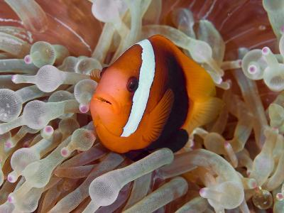 Anemonefish Among Poisonous Tentacles, Raja Ampat, Indonesia