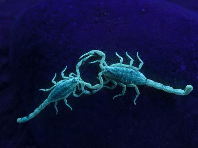 Two Scorpions Under Blacklight, Maverick County, Texas, USA