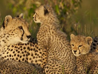 Cheetahs, Upper Mara, Masai Mara Game Reserve, Kenya