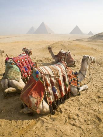 Resting Camels Gaze Across the Desert Sands of Giza, Cairo, Egypt