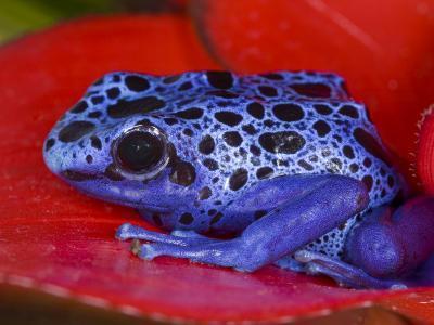 Poison Dart Frog on Red Leaf, Republic of Surinam