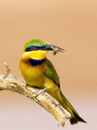 Little Bee-Eater Bird on Limb With Bee in Beak, Kenya