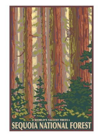 Sequoia National Forest, CA Redwood Trees