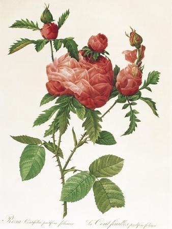 Rosa Centifolia Prolifera Foliacea