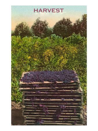 Harvest, Flats of Grapes