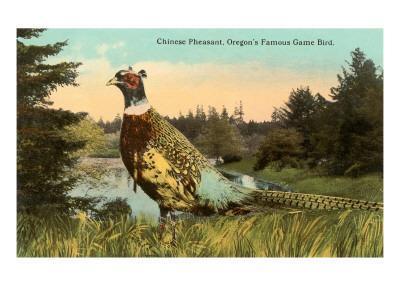Chinese Pheasant, Oregon Game Bird