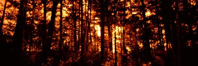 Aspen Trees at Sunrise, Colorado, USA