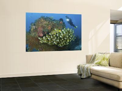 Diver and Schooling Sweetlip Fish Next To Reef, Raja Ampat, Papua, Indonesia