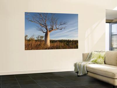 Boab (Adansonia Gregorii) in Dry Season When Tree Is Deciduous, Calder River, West Kimberley