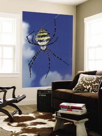 Garden Orb Spider (Argiope Australis)