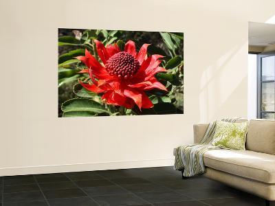 The Waratah Native Flower