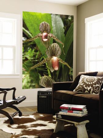 Rotschilds Slipper Orchid (Paphiopedilum Rothschildianum)