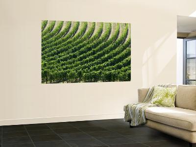 Rows of Grape Vines in Chianti Region