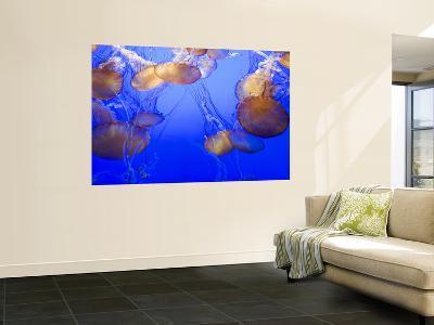 Black Sea Nettle Jellyfish at Monterey Bay Aquarium