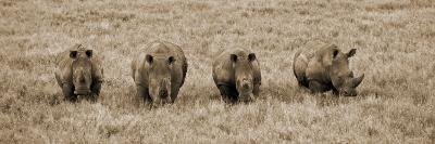 Kenya, Laikipia, Lewa Downs; a Group of White Rhinoceros Feed Together