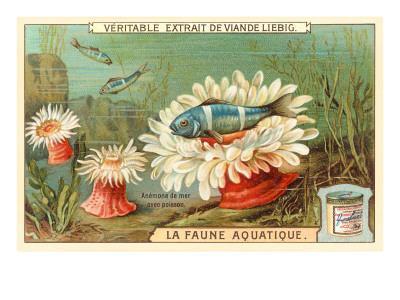 Aquatic Fauna, Sea Anemones