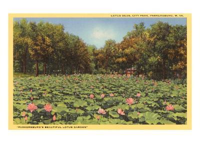 Lotus Beds, Parkersburg, West Virginia