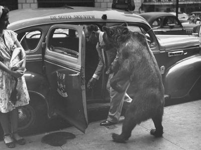 Trained Bear Named Rosie Getting into a Taxi