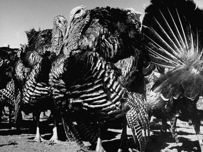 Close-Up of Turkeys on Farm
