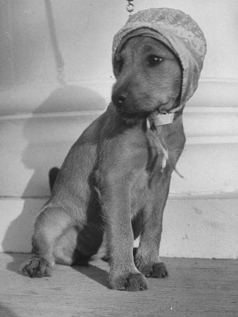 Puppy Wearing a Bonnet Participating in the Dog Fashion Show