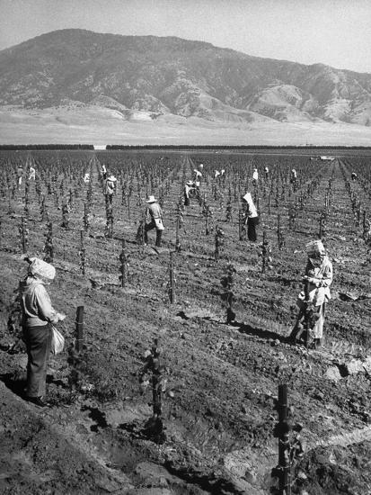 Women Workers Tying Up Young Grape Vines Photographic Print At