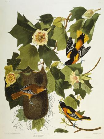 Baltimore Oriole. Northern Oriole (Icterus Galula), from 'The Birds of America'