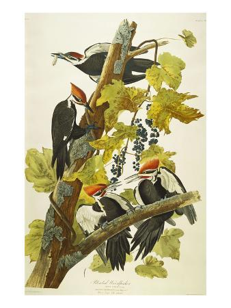 Pileated Woodpecker (Dryocopus Pileatus), Plate Cxi, from 'The Birds of America'