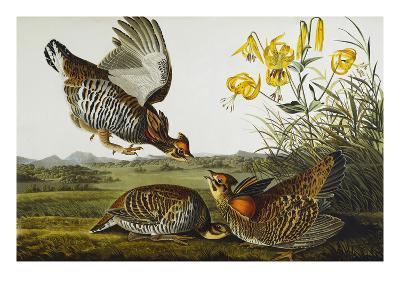 Pinnated Grouse. Greater Prairie Chicken (Tympanuchus Cupido), from 'The Birds of America'