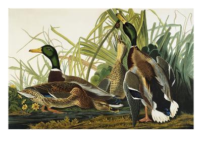 Mallard Duck. Mallard (Anas Platyrhynchos), Plate Ccxxi, from 'The Birds of America'