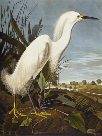 Snowy Heron or White Egret / Snowy Egret (Egretta Thula), Plate CCKLII, from 'The Birds of America'