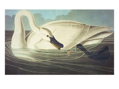 Trumpeter Swan (Olor Buccinator), Plate Ccccvi, from 'The Birds of America'