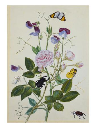 Galica Rose and Perennial Sweet Pea, Weevil, a Beetle and Butterflies