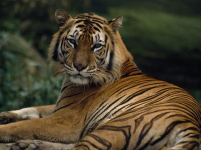 A Portrait of a Captive Sumatran Tiger, Panthera Tigris Sumatrae